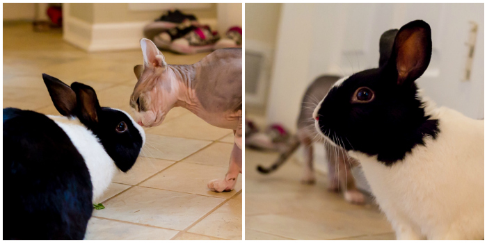 Black and white bunny, sphynx cat